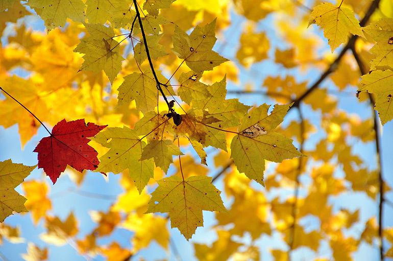 red_leaf_0114