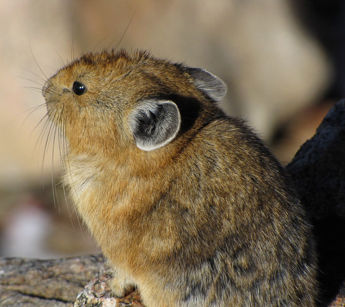 A Sweet Little Pika