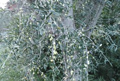 20091120 - Friday Olive Tree Blogging