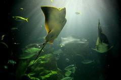 Ray, Toba Aquarium