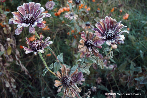 Frost on dead zinnias