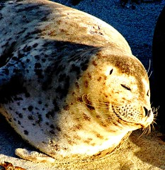 Lazy Bliss Smile, Seal Nap at La Jolla Cove (moonjazz) Tags: ocean california travel sea sun beach smile face animal mammal marine nap pacific emotion sleep wildlife fat content happiness spots seal satisfaction bliss behavior blubber