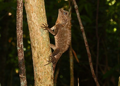 Another Anglehead Lizard (alphazeta) Tags: brown tree rainforest crest lizard treetrunk borneo kotakinabalu sabah mottled agama agamidae tunkuabdulrahmannationalpark agamid gayaisland gonocephalus lowlandrainforest newgoldenseal angelheadlizard angelheadagamid borneoangelheadagamid paulagaya