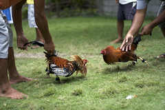 IMG_3770 (Hunter Mason1) Tags: chicken asia philippines bohol rooster cockfight pamilacan