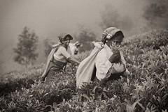 Coonoor Tea Picker 1 (dss85) Tags: leica india zeiss 15 m8 50 coonoor sonnar teapickers