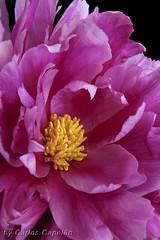 Peonia (carlos_capelo) Tags: pink flowers flores macro nature colors canon colours natureza flor decoration imagens publicity decorao publicidade peonia criatividade criativity wonderfulworldofflowers flickrsfinestimages1