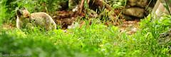 Renard bébé_0037 (Cédric Bannwart [Scan2]) Tags: animal renard