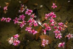 水面上的櫻花與鵝毛 (Hamster620) Tags: 台灣 taiwan 武陵農場 wulingfarm 花 flower