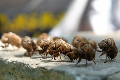 Cicada Legions