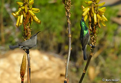Double-collared Sunbird pair (Martin_Heigan) Tags: camera winter flower bird nature digital southafrica succulent aloe nikon close martin feeding photograph nectar d200 dslr afra sunbird pollination suidafrika nikonstunninggallery sunbirds heigan cinnyris doublecollared aalwyn wsnbg mhsetbirds mhsetaloes wickensii suikerbekkielbokehldof suikerbekkies