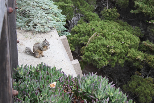 Squirrel at the Lone Cypress