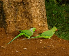 Male & Female Ringnecked Parakeets by Ajith_chatie, on Flickr