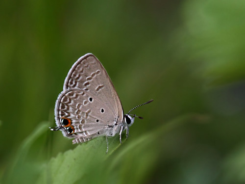 Plains cupid (Chilades pandava) - Underside