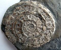 Psiloceras plicatulum Quenstedt, 1883 (mr.Medici) Tags: uk fossil ammonite jurassic ammonites fossils ammolite