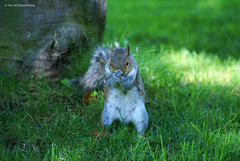 Praying for Acorns (TIA International Photography) Tags: cute nature grass animals tia furry squirrel funny humorous prayer praying foliage paws sonyalpha tosinarasi tiascapes tiainternationalphotography