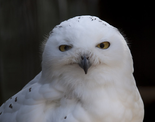 Snowy Owl by ahisgett, on Flickr
