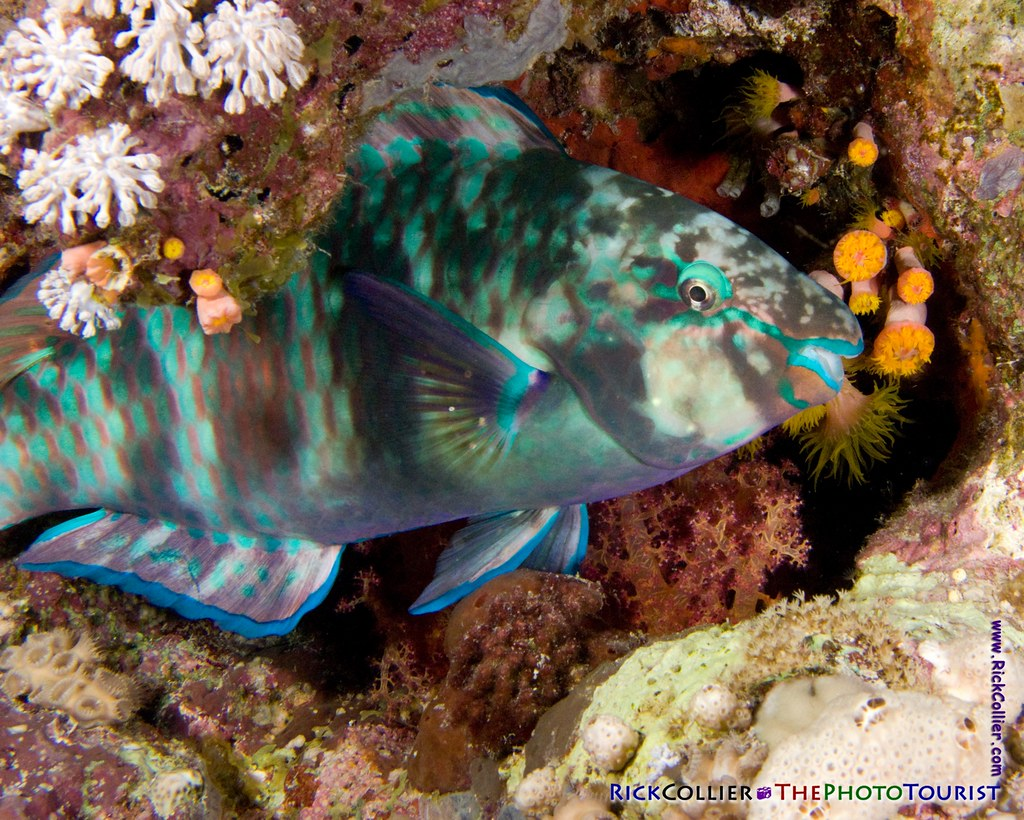 A rainbow parrotfish sleeps, wedged into a gap in the reef at Paradise reef, Sharm el-Sheikh, Egypt
