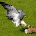 A Chilean Eagle attacking a radio-controlled 'rabbit' at the Weald and Downland Museum