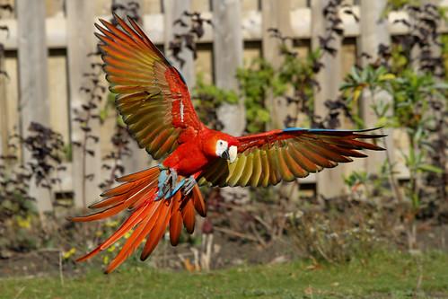 フリー写真素材, 動物, 鳥類, インコ科, ベニコンゴウインコ,