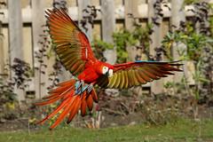 [フリー画像] 動物, 鳥類, インコ科, ベニコンゴウインコ, 201005181900