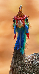 Helmeted Guineafowl (Marc_Scott-Parkin) Tags: birds guineafowl helmeted