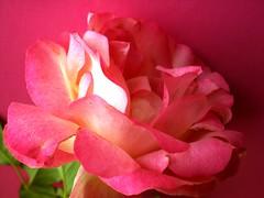 repetita  iuvant... (maryateresa2001) Tags: pink flower mtd rosa fiori petali luce dettaglio rosarosarosa maryateresa roseinpink
