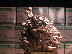 Shitake mushrooms on aspecial growing runk