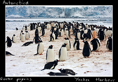 A lot of Gentoo Penguins, Yankee Bay (Lee Hawkes) Tags: snow cold ice penguin penguins antarctica antarctic theantarctic
