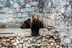Urso Pardo / Grizzly Bear (Ursus arctus) (Nuno-Gomes) Tags: life bear wild nature animal zoo interesting fantastic bestof shot great best explore greatshot maia colored grizzly ohhh ursus urso pardo nunogomes excelent topseven arctus mygearandmepremium mygearandmebronze mygearandmesilver mygearandmegold mygearandmeplatinum mygearandmediamond ngomes