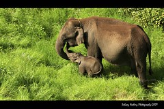 Motherhood (suhaaz Kechery) Tags: life wild baby elephant green wildlife mother dk care motherhood hillstation munnar tuskar canon450d kechery dohakoottam suhaaz