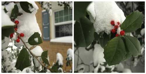 snowy holly