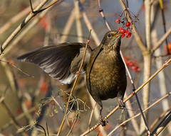 Blackbird, one winged balance. (Andrew Haynes Wildlife Images) Tags: red bird nature berry feeding wildlife wing balance blackbird warwickshire avian brandonmarsh canon7d ajh2008