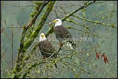 Bald Eagles (Evergreen_Photography) Tags: bald eagles