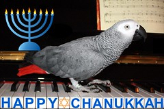 Happy Hanukkah! (FelixSS) Tags: pet holiday bird nature animal religious religion newengland parrot celebration africangreyparrot jewish greetings judaism greetingcard hanukkah chanukkah cag hanuka greyparrot grayparrot africangrayparrot congograyparrot congogreyparrot