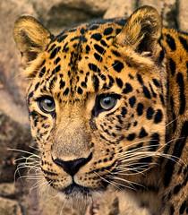 poker face (rakkasan69) Tags: orange philadelphia cat canon fur zoo big eyes rocks spot tony spots leopard philly babcock xsi vosplusbellesphotos
