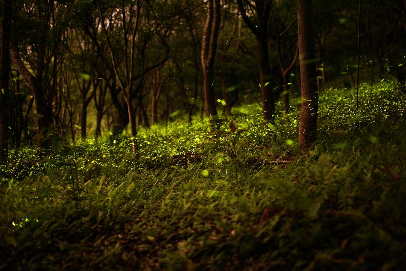 20100414東勢林場螢火蟲