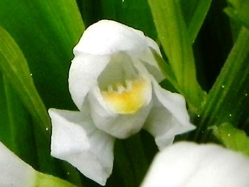 Céphalanthère à longues feuilles=Céphalanthera longifolia (fleur)-Orchidée Mollette032