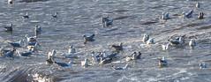 Gulls etc