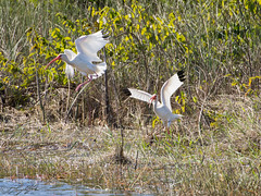 White Ibis (larryyorknh) Tags: birds floridakeys