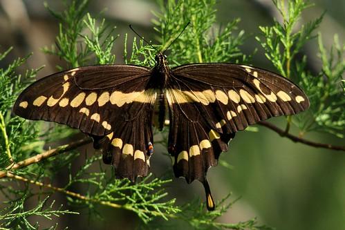 Giant Swallowtail - 5/29/2009