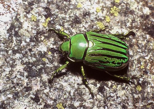 flickriver photoset beetles scarabaeidae and glaphyridae by