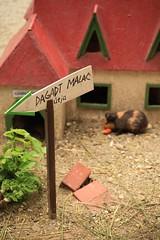 Student's canteen (Mp3PintyoPhoto) Tags: nature animal canon zoo guineapig hungary budapest caviaporcellus tengerimalac canon5dmarkii mp3pintyo
