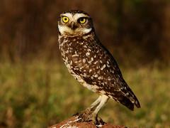 coruja-buraqueira ( Athene cunicularia ) (Jorge Belim) Tags: fauna pássaro ave coruja preferida bípede