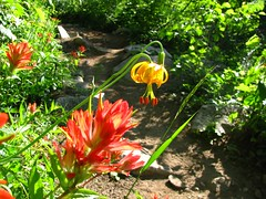 tiger lily and indian paintbrush (?)