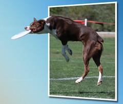 Gotcha! (San Diego Shooter) Tags: california wallpaper dog dogs sandiego desktopwallpaper discdog wagsforwishes frisbeedog discdogs wagsforwishes2009 sandiegodesktopwallpaper