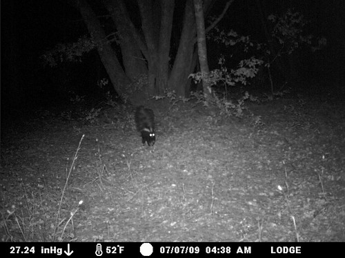 skunk striking a stance