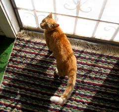 Amber, wanting outside (Hairlover) Tags: pet cats pets public cat kitten kitty kittens kitties hairlover allcatsnopeople