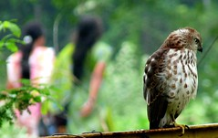 Looking the other way (jmanj) Tags: india hawk cities urbannature baroda vadodara citybirds urbanindia johannesmanjrekar