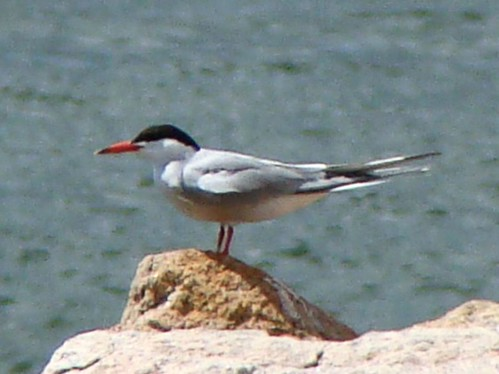 4th common tern2