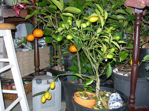 Find the sunniest window possible to overwinter your potted citrus.